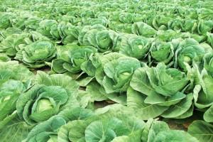 Ukraina: Zbiory warzyw w 2017 r. wyniosły 9,3 mln ton