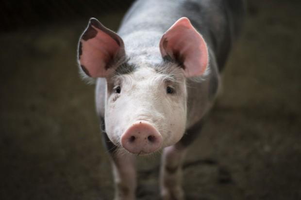 Będzie pomoc finansowa dla producentów świń ze stref ASF