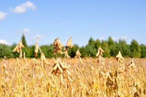 Śląskie LOZ 2018 r. zbóż jarych, grochu, soi i ziemniaka