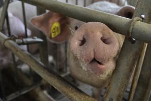 Bioasekuracja to już obowiązek każdego producenta świń