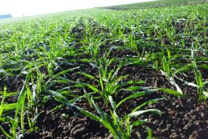 Jak prowadzić plantację zbóż po niekorzystnych warunkach pogodowych jesienią 2017 r.