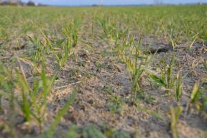 Nawożenie azotem słabo rozkrzewionych zbóż