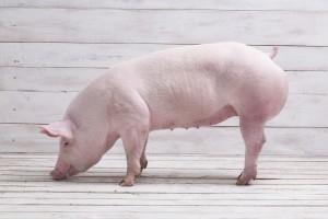 GUS: w styczniu potaniały produkty zwierzęce w skupie