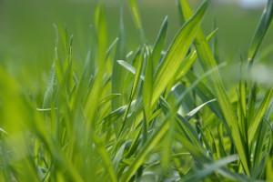 Zapotrzebowanie zbóż na mikroelementy