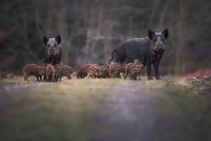 Afrykański pomór świń dotarł na Węgry