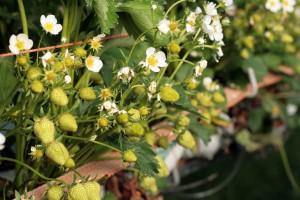 Fungicyd Teldor z rozszerzeniem rejestracji o kolejne gatunki jagodowe