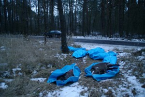 ASF miało siedem dzików z worków porozrzucanych w marcu w okolicach Parczewa