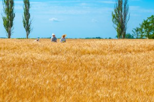Ukraina: Zakaz sprzedaży ziemi szkodzi rolnikom