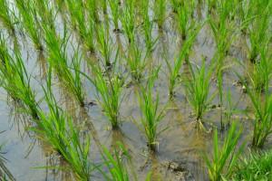 Wskutek wzrostu CO2 w atmosferze - ryż coraz mniej odżywczy