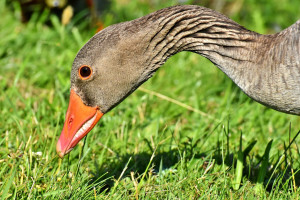 Ptasia grypa u dzikiego ptactwa w Co Armagh w Irlandii Północnej
