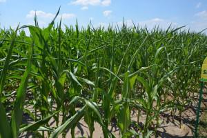Susza również w kukurydzy – najnowszy raport IUNG