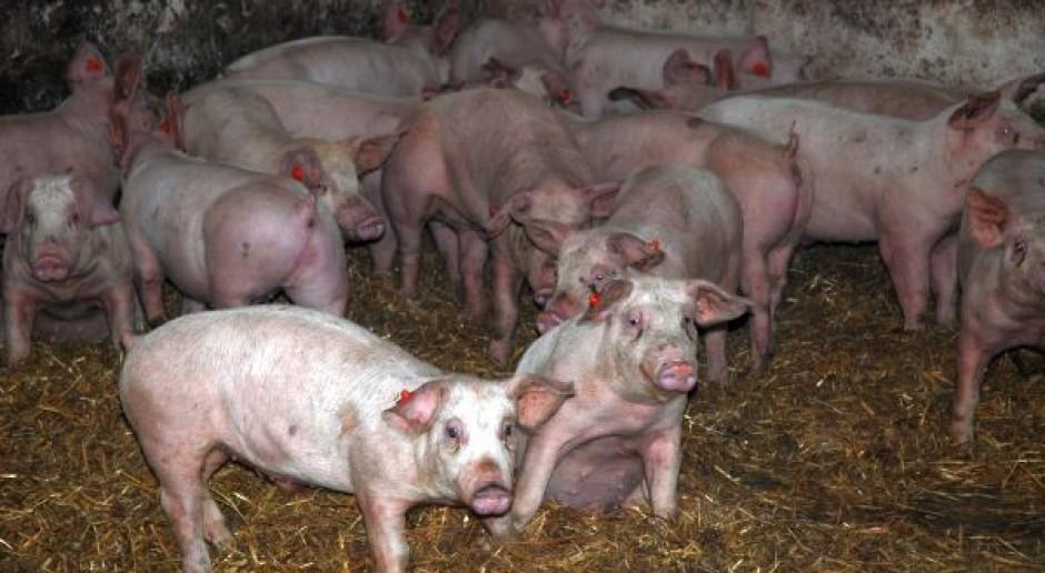 Polska świnia w Korei?