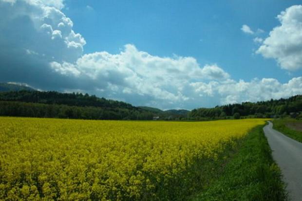 ZT w Bodaczowie: zainteresowanie uprawą rzepaku jarego sprzężone z pogodą