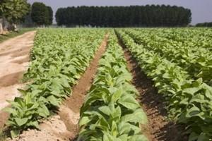 Sawicki podpisał wniosek o dodatkowe dopłaty do produkcji tytoniu