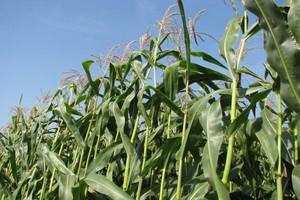 Kukurydza nowo zarejestrowana