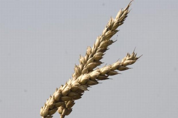 Panika na rynku zbóż, ceny spadają