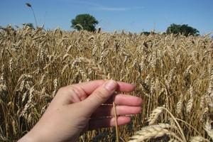 Rynek zbóż lustrzanym odbiciem giełdowych zawirowań