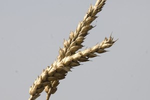 Ceny zbóż się ustabilizowały