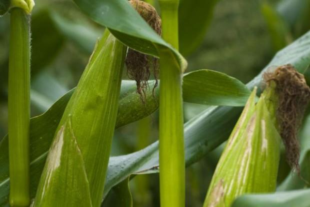Zapasy kukurydzy najniższe od 15 lat