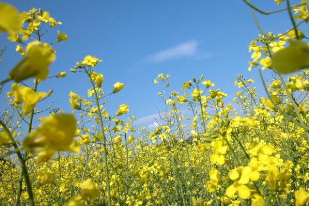 Aura nie sprzyja uprawom rzepaku w Wielkopolsce