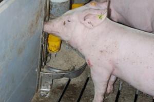 Jak dobrać dodatek ziołowy dla świń?