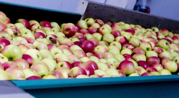 Jabłek więcej niż w ubiegłym sezonie