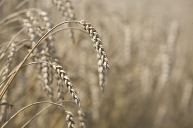 Wysokie ceny zbóż po żniwach