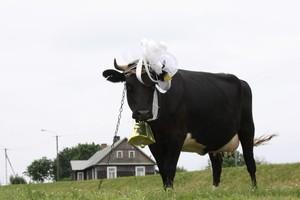 Krowa w nagrodę