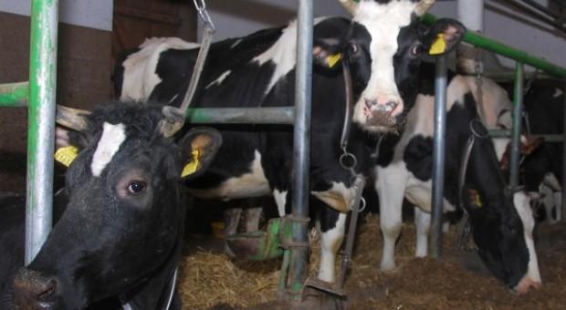 Monitorowanie kulawizn u krów mlecznych