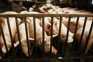 Zakaz przywozu świń z Litwy