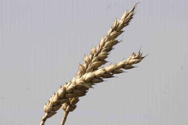 Na giełdach ceny zbóż spadają