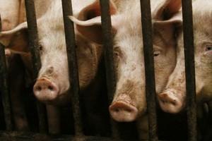 Nowa klasyfikacja tusz nie wyrządzi szkody producentom świń