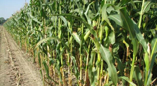 GMO dopuszczone czy nie?