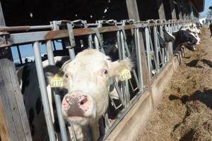 Wzrosła liczba krów ocenianych w RO Parzniew