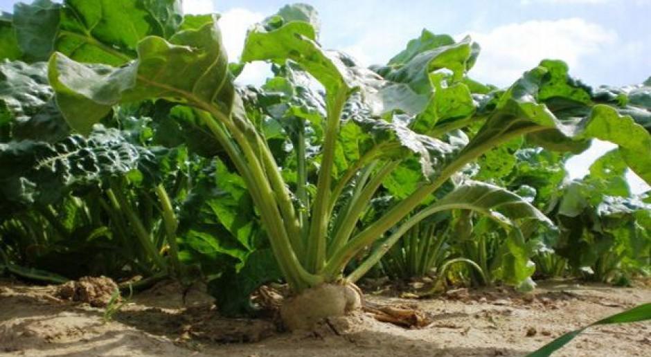 Umowy plantatorów buraków cukrowych do zmiany