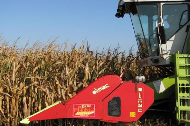 Stadium czarnej plamki - termin zbioru kukurydzy na ziarno