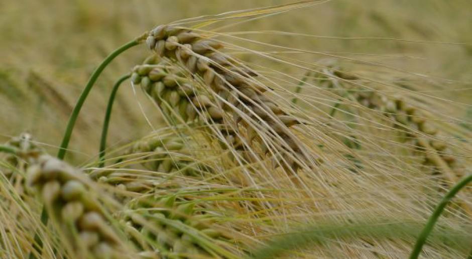 Agrotechnika jęczmienia hybrydowego