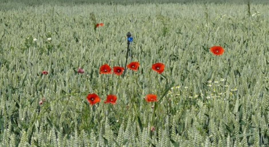 Uprawa roli ma wpływ na wschody chwastów i samosiewy w pszenicy
