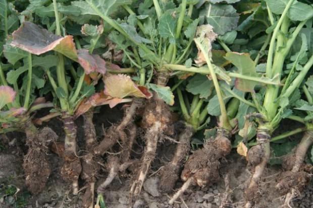 Problem z kiłą kapusty w uprawach rzepaku na Dolnym Śląsku