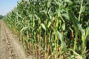 KE: będą przepisy dot. maksymalnych dozwolonych ilości GMO w żywności