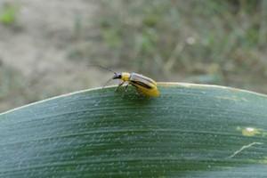 Większy zasięg stonki kukurydzianej – pojawiła się na Mazowszu