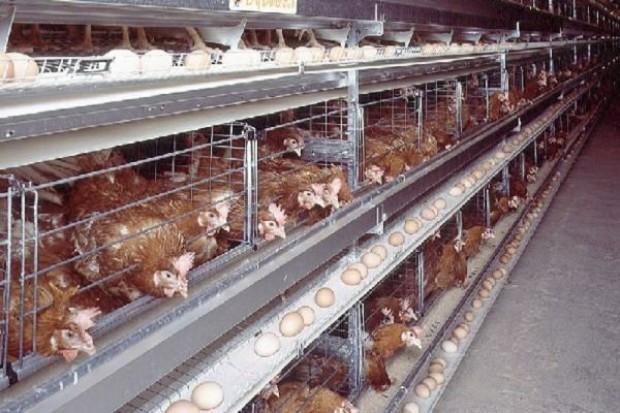 UE zajmie się wymianą klatek dla kur, z czym spóźnia się Polska