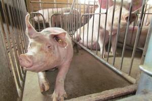 III kwartał 2012 r. - najlepszym okresem dla producentów tuczników