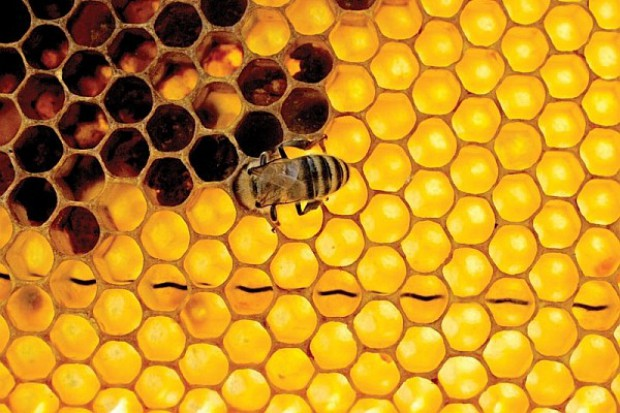 Pszczoły a probiotyki