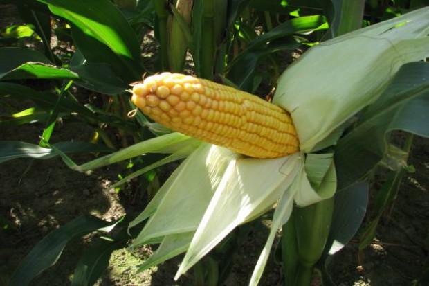 Francja z kukurydzą GMO