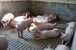 Na koniec roku w całej UE królują wysokie ceny wieprzowiny