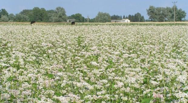 Proso i gryka nie trafią do Krajowego Rejestru Odmian