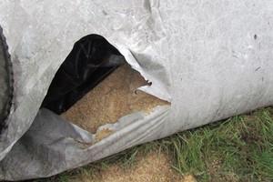 Wilgotne ziarno kukurydzy, jako dobra pasza dla świń