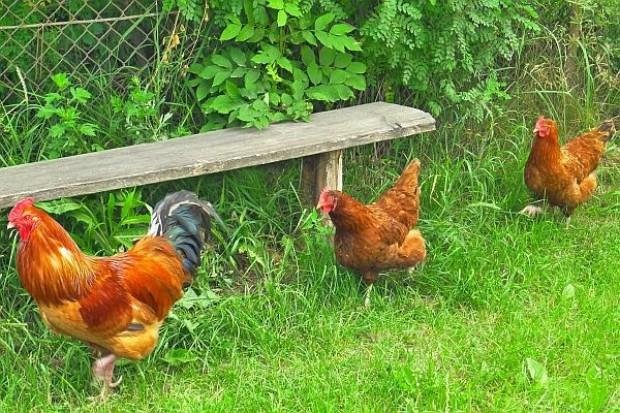 Kury znikają z przydomowych obejść