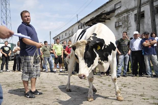 W 2011 r. najbardziej drożały krowy i jałówki